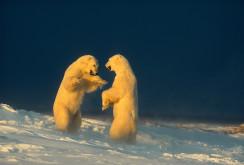 PF Botschafter_Norbert_Rosing_Kampf_der_Eisbären